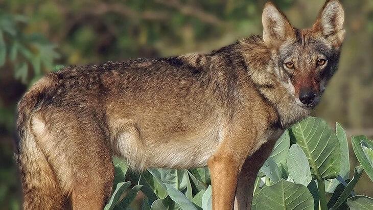 где водятся самые крупные волки