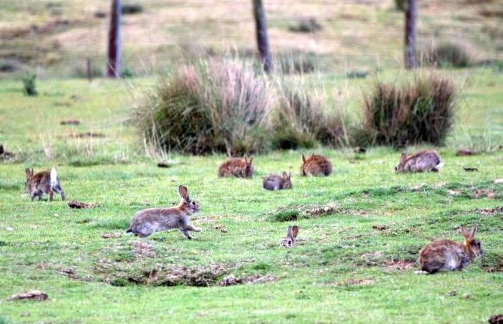 Кролики враги утконоса