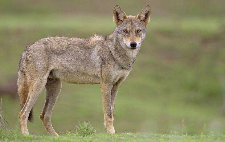 географические признаки волка обыкновенного