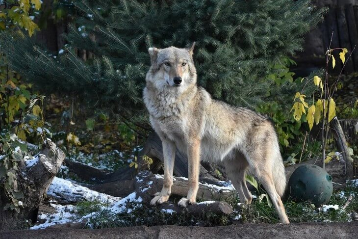 волки разновидности какие бывают