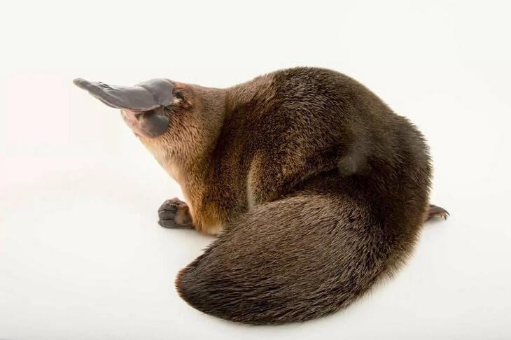правда ли что утконос родственник утки