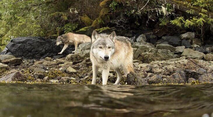 где водятся самые большие волки