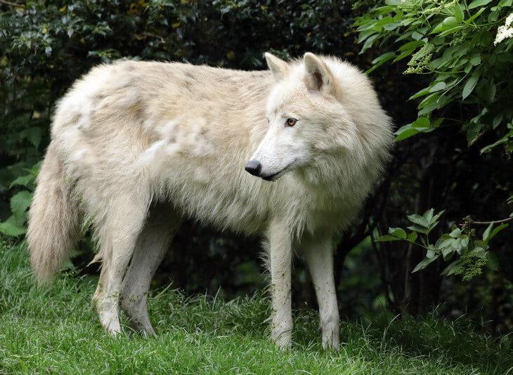 сколько весит самый большой волк на планете