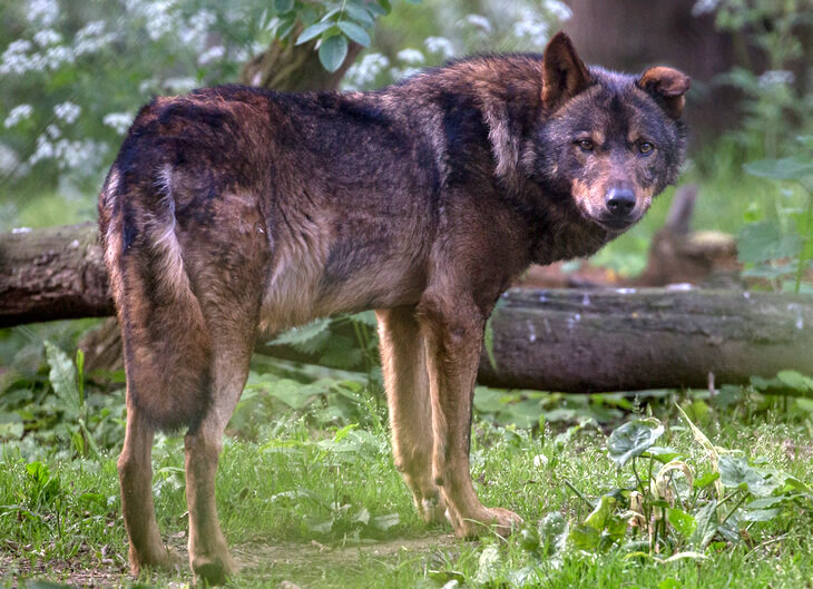 в какой зоне обитает волк