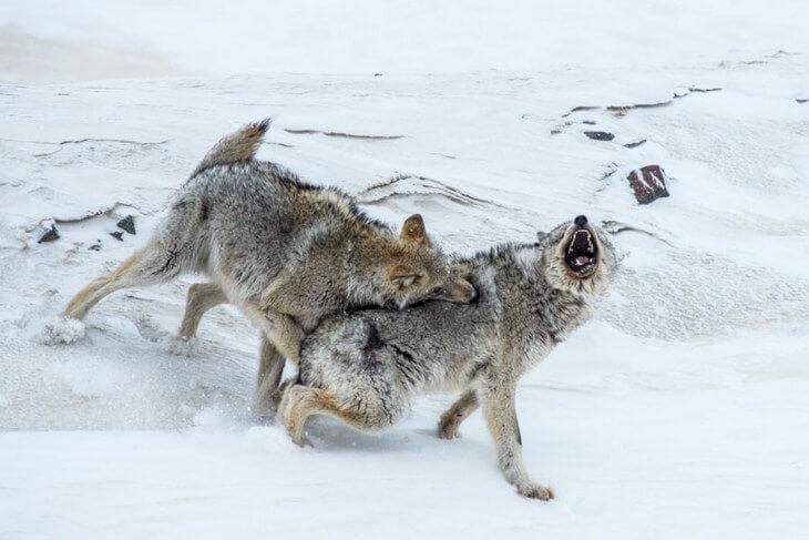 в каких лесах обитают волки