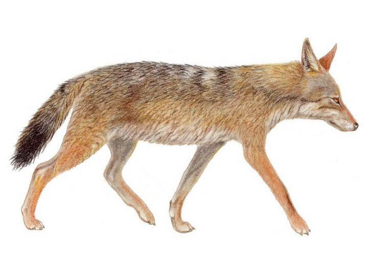 волк животное