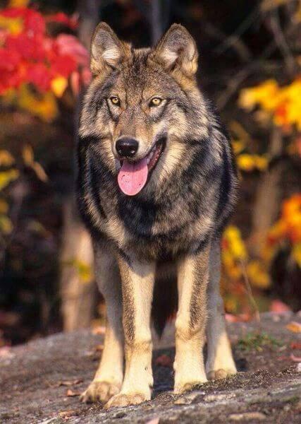 описание волка
