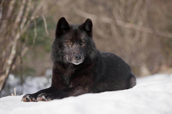волк обыкновенный хищное животное