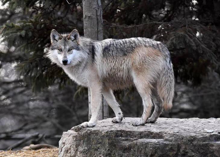 что умеет делать волк