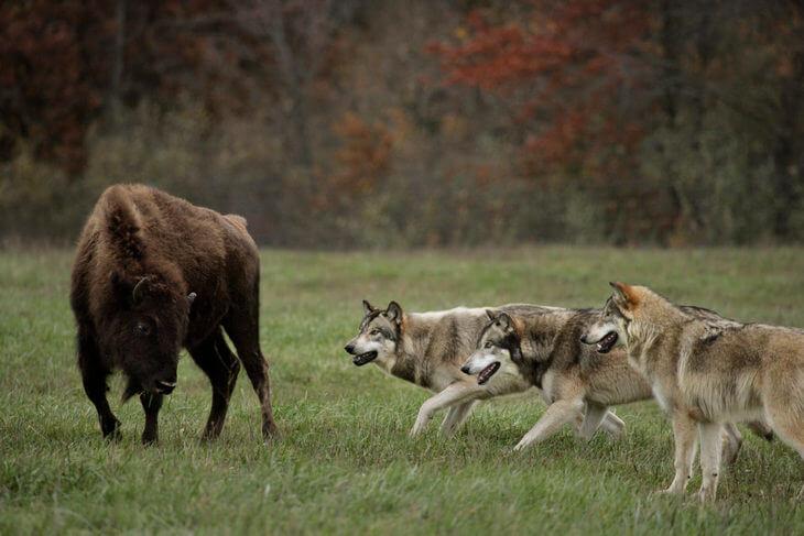 как нападает волк на добычу