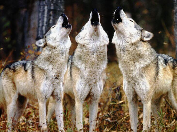 какую среду обитания выбрал волк