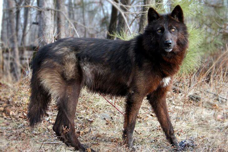 какую среду жизни освоил волк