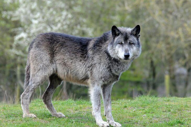 почему волк не живет южнее евразии