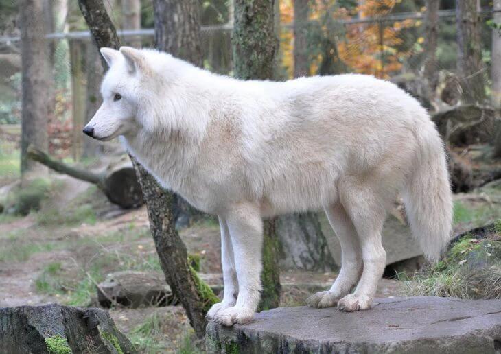 на каком восточном материке обитает серый волк