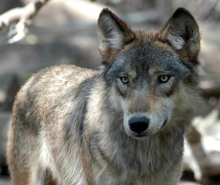 где живут самые крупные волки