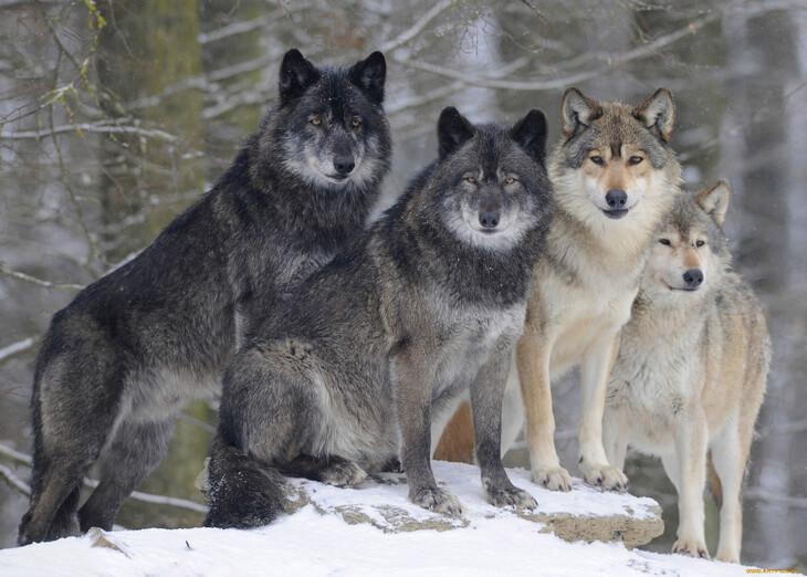хищник волк