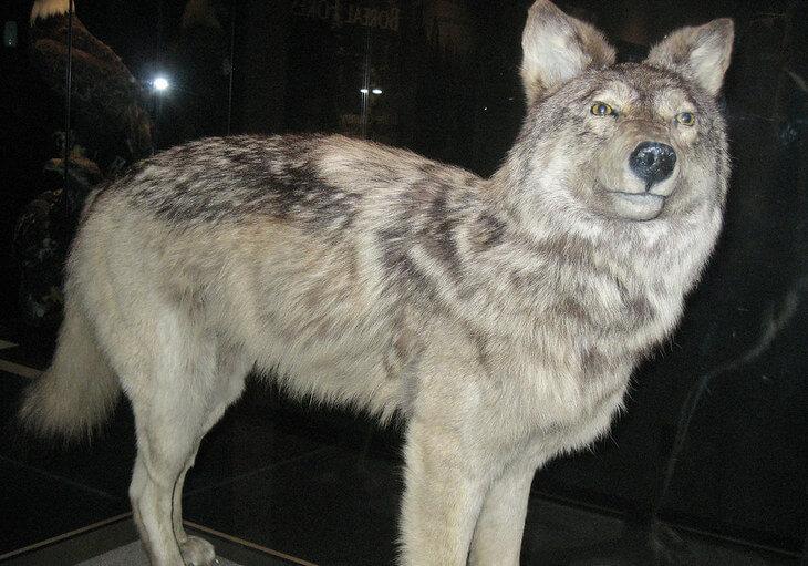 почему волки не водятся на юге