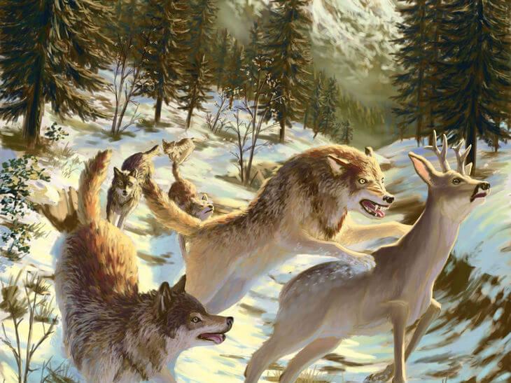 сколько волк съедает мяса в день