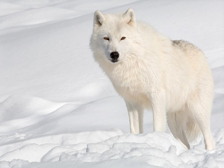 как бежит волк