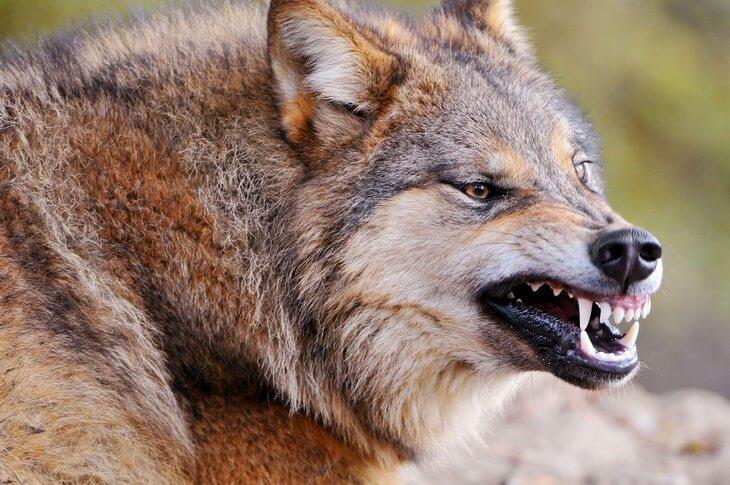 в какое время года опасны волки