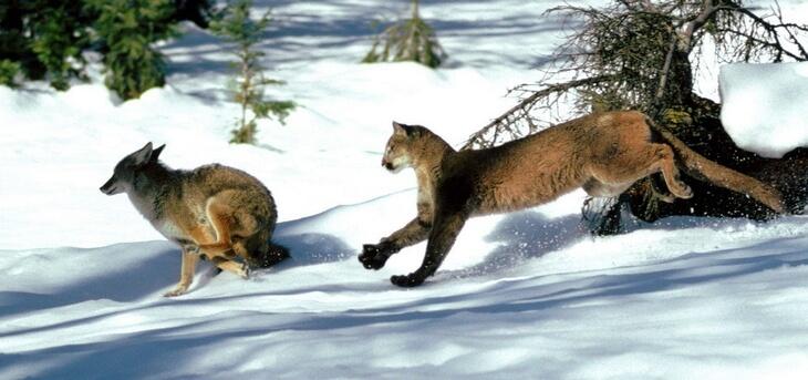 Естественные враги волков