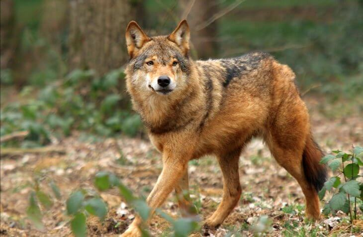 экологическая ниша волка обыкновенного таблица