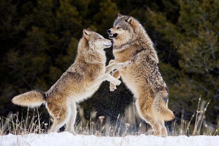 какой признак внешнего строения волка указывает