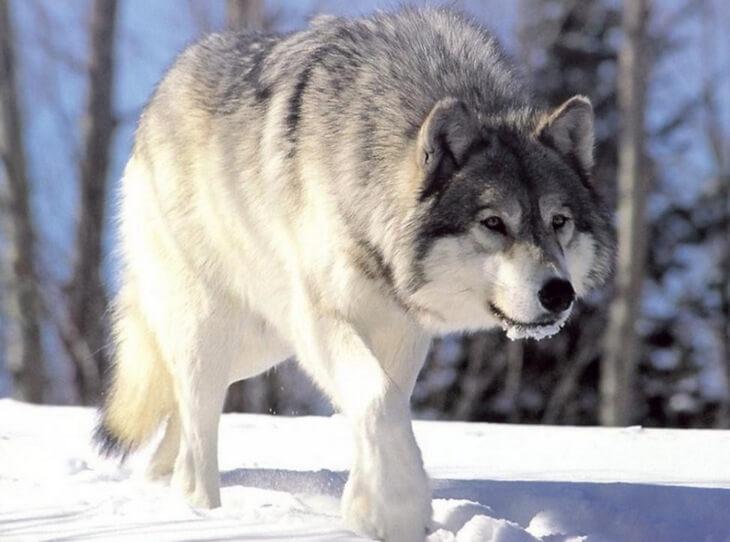 какие уши у волка
