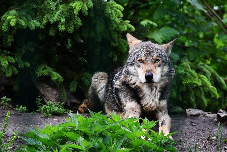 какие бывают волки