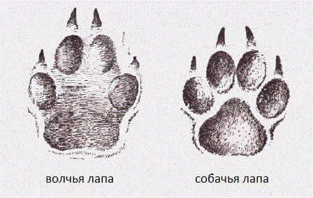 физиологические признаки волка обыкновенного