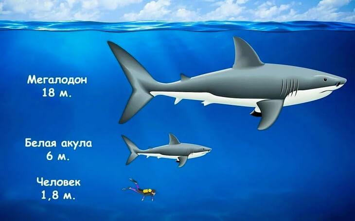 Сравнение мегалодона с человеком и белой акулой