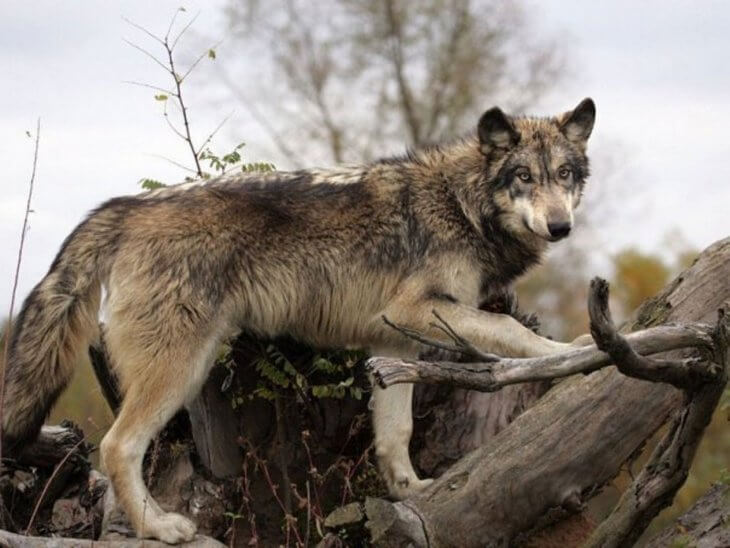 какого цвета бывают глаза у волков