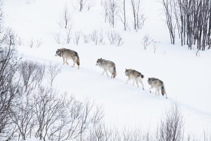 как бегает волк