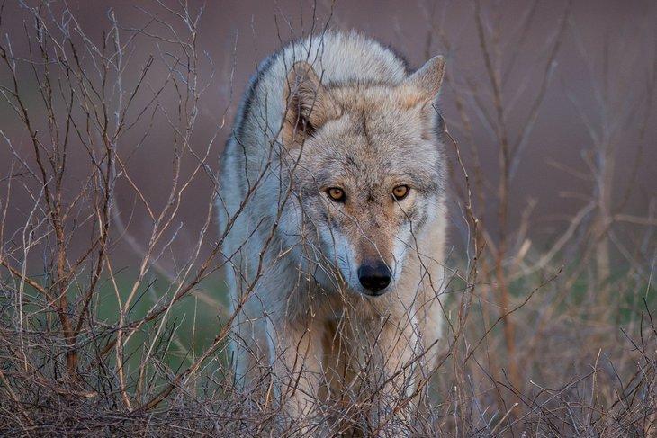 как называются большие волки