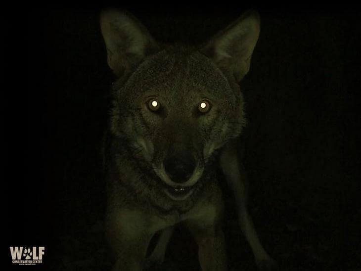 волк живой