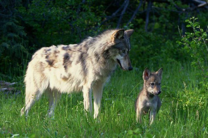 сколько волки вынашивают волчат