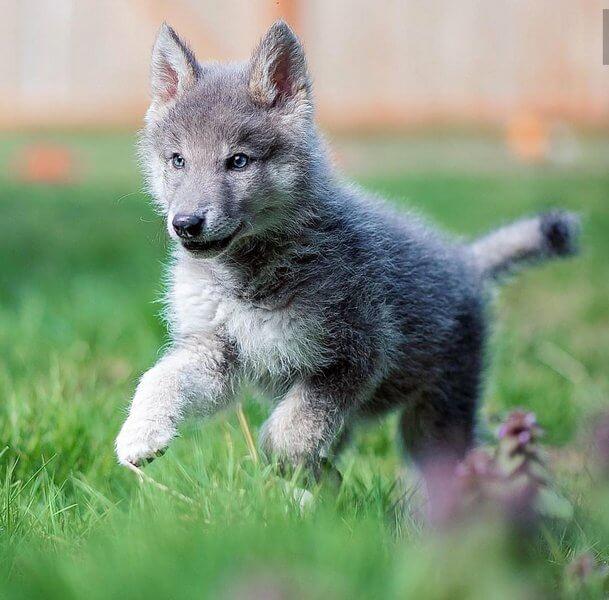 цвет волка