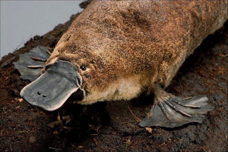 утконос ядовитый