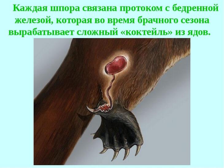 ядовитые шипы утконоса