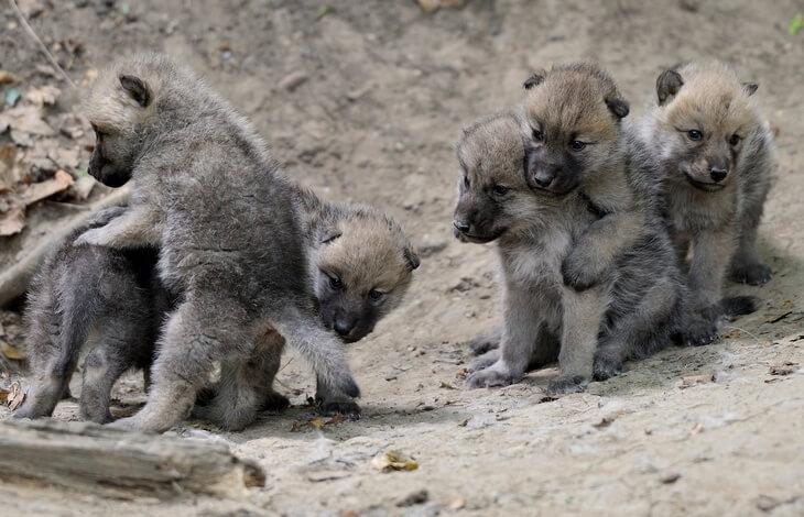 где живет волк для детей