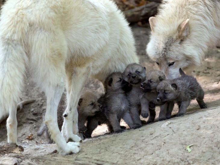 какой детеныш у волка