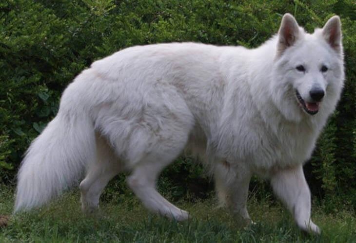 как можно описать волка
