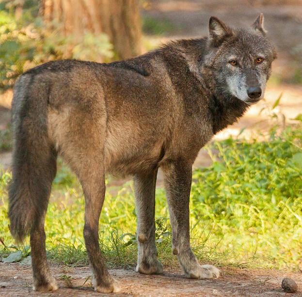какой тип развития характерен для волка