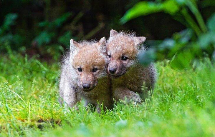 сколько детенышей рождается у волка