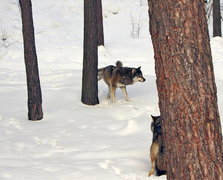 как описать волка