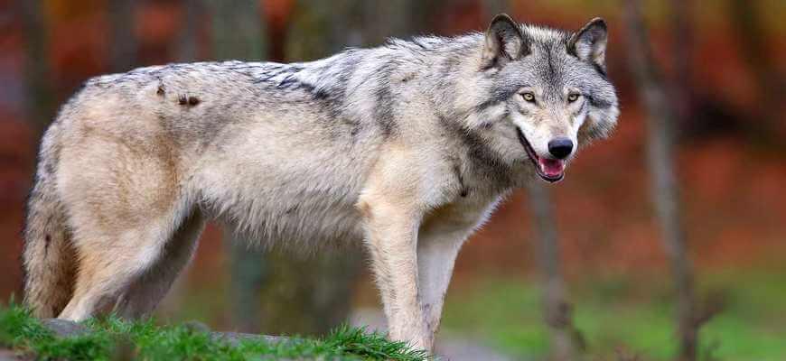 Серый волк ⭐ Что ест, где живет, как выглядит, сколько весит, как охотятся