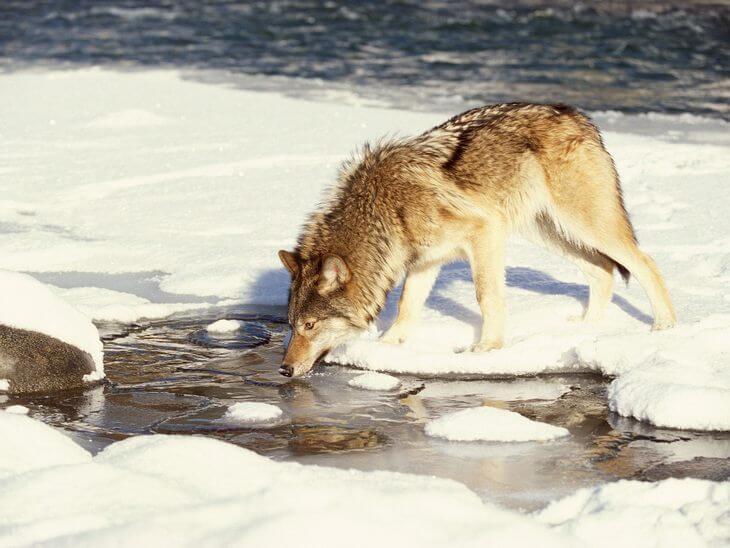как добывают пищу волки