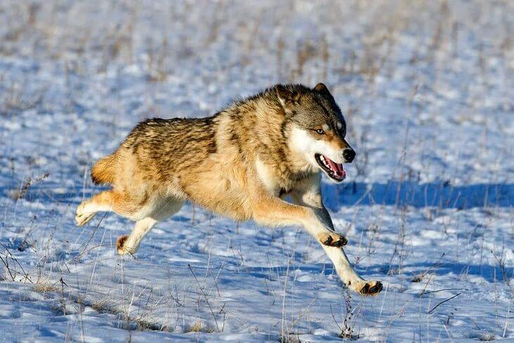 сколько бегает волк