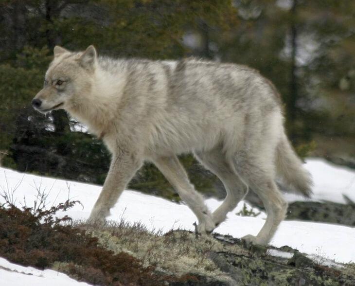 какая польза от волков