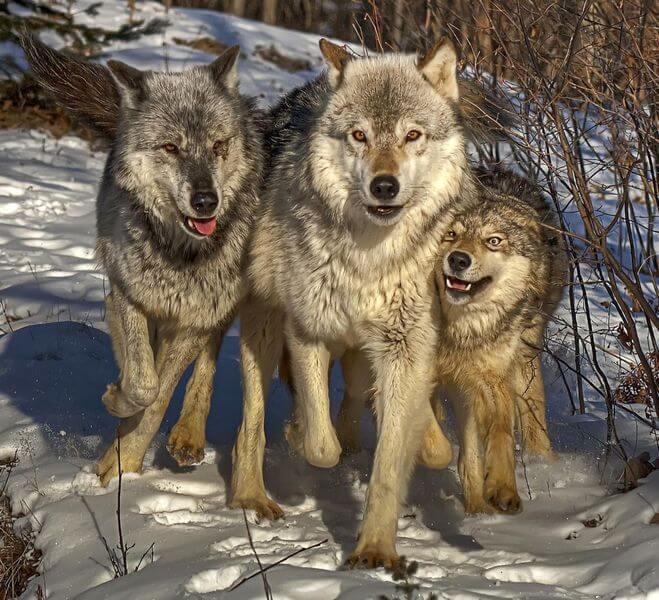 сколько особей в стае волков